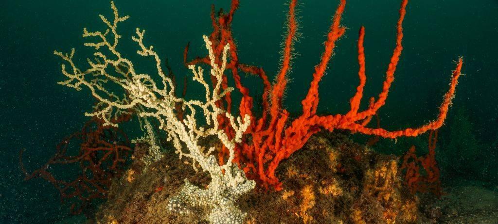 Gold Coral colonies are now safer in Boka-Kotorska Bay, Montenegro